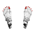 Distal phalanges of foot07 superior view.png