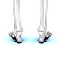 Distal phalanges of foot03 posterior view.png
