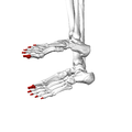 Distal phalanges of foot05 lateral view.png