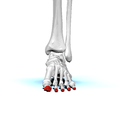 Distal phalanges of left foot01 anterior view.png