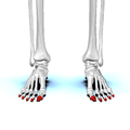 Distal phalanges of foot01 anterior view.png
