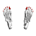 Distal phalanges of foot08 inferior view.png