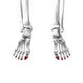 Distal phalanges of foot06 posterior view.png