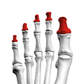 Distal phalanges of left foot04 superior view.png