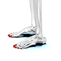 Distal phalanges of foot02 lateral view.png